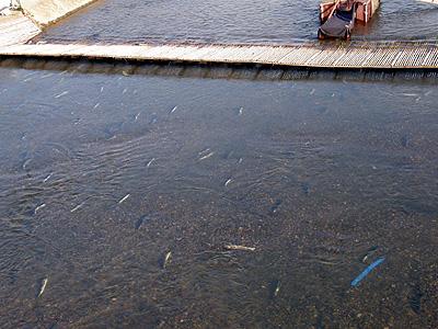 加茂川の鮭