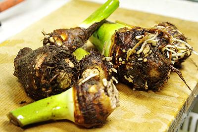 セレベス/赤芽大吉/赤目芋<里芋の品種:旬の野 …