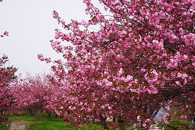 瓢湖の八重桜