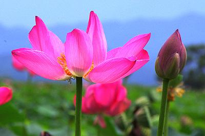 福島潟の蓮