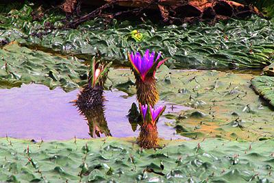 福島潟のオニバス