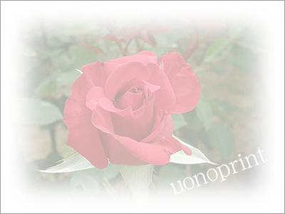 31薔薇(赤)