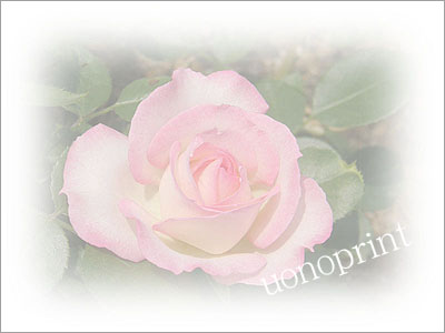 32薔薇ピンク