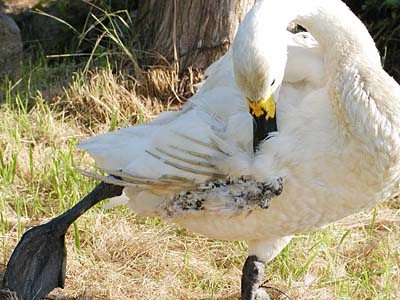 怪我をした白鳥