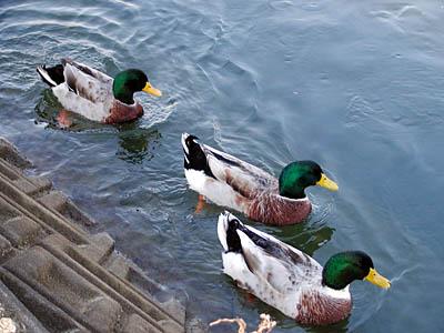 加茂川の鴨