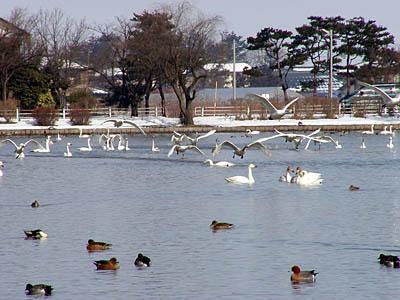 白鳥の飛立ち