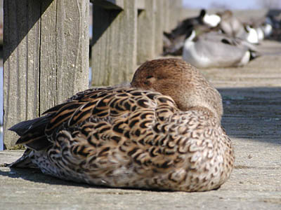 眠そうな鴨