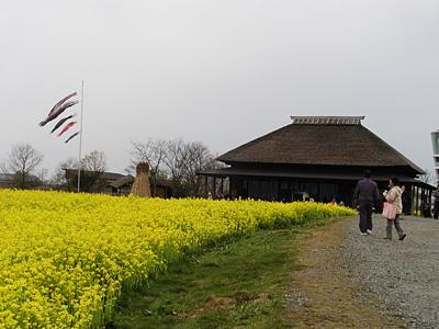 福島潟の菜の花