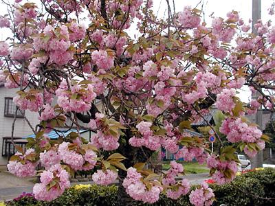 代官所の八重桜