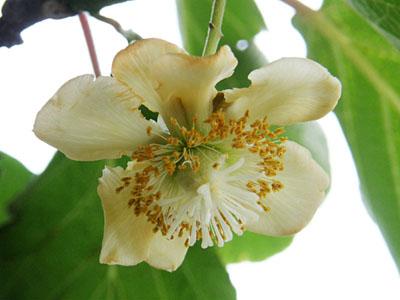 キーウィフルーツの花