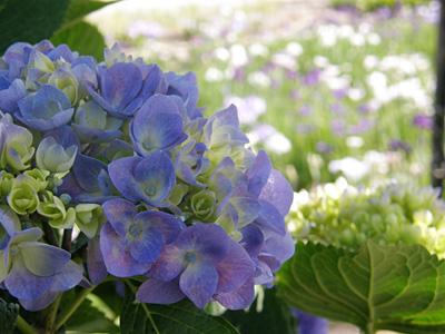 瓢湖の紫陽花