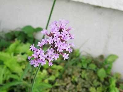 ヤナギハナガサ