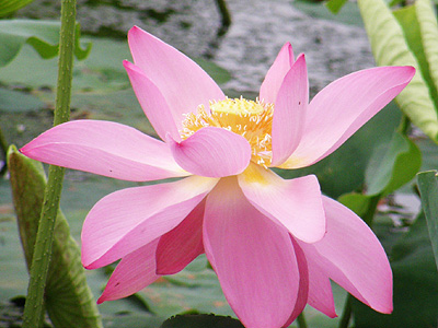 瓢湖のハス