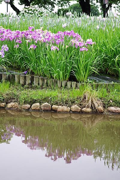 瓢湖のアヤメ